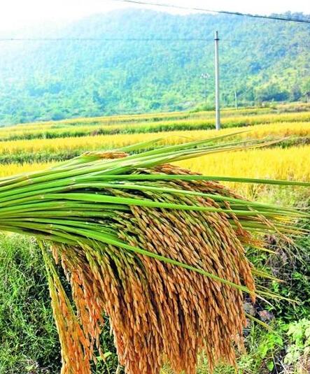 """南安400多亩水稻听""""大悲咒""""增产15% 颗粒饱满"""