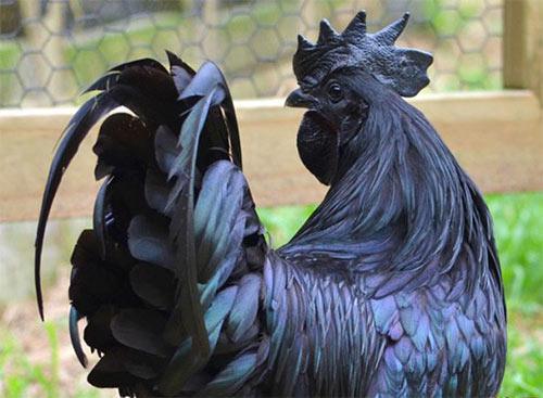 世界上最黑的鸡有多黑